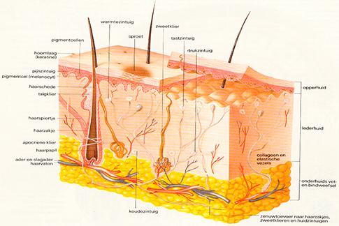 doorsnede van de huid